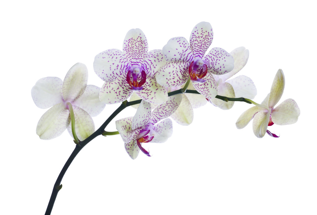 light color orchid flowers in pink spots isolated on white